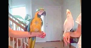 Când acest papagal şi-a provocat la dans prietenul înaripat, nici măcar proprietarele nu s-au putut opri din râs