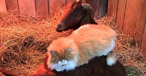 Motanul se furişa zilnic în preajma acestei capre gestante. Când au aflat motivul său, nu le-a venit să creadă