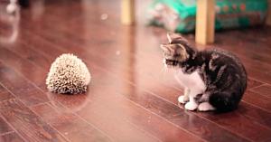 Ariciul speriat se face ghem când îl vede pe acest pisoi - răspunsul felinei a devenit viral