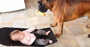 Acest câine se apropie de bebeluşul aflat în balansoar. Interacţiunea lor este dincolo de cuvinte