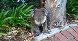 Un ursuleţ koala deshidratat stătea pe marginea drumului - Ajutorul vine de la cine se aştepta mai puţin!