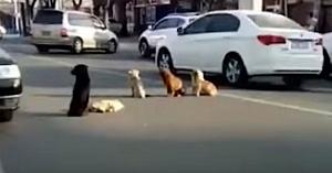 La început nu înţelegeau de ce aceşti câini blochează traficul, apoi şoferii realizează motivul lor...