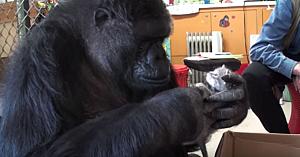 Această gorilă nu poate să aibă pui. Soluţia găsită de voluntari este pe cât de surprinzătoare, pe atât de adorabilă