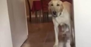 Acestui câine îi este teamă să intre în cameră. Soluţia găsită este pe cât de ingenioasă, pe atât de amuzantă