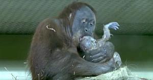 Un pui de urangutan venind pe lume a fost filmat pentru prima dată. Priviţi momentul când mama i-l arată îngrijitorului