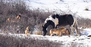 Acest cal este dezinteresat de faptul că este înconjurat de lupi. Subit are o reacţie care îi face pe privitori să suspine