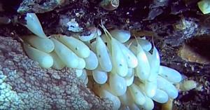 Scafandrul observă o caracatiţă păzind o mulţime de săculeţi. Apoi surprinde o scenă cu adevărat emoţionantă