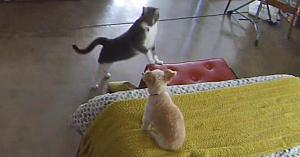 O pisică este enervată de lătratul câinelui - Modul în care îl reduce la tăcere este de tot hazul