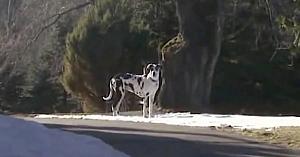 Bărbatul îşi vede patrupedul comportându-se ciudat pe marginea drumului. Apoi aude un strigăt disperat dinspre casa învecinată