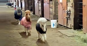 """Poneii participă la o cursă de alergare în grajd. Proprietara se amuză teribil când un """"intrus"""" li se alătură"""