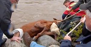 Captiv în apele repezi ale râului, acest cal îşi pierduse orice speranţă. Urmăriţi salvarea sa emoţionantă