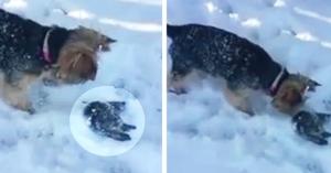Câinele descoperă o vieţuitoare îngheţată în zăpadă. Stăpâna îşi dă seama imediat că nu are timp de pierdut