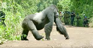Familia de gorile vrea să traverseze drumul în condiţii de maximă siguranţă. Priviţi modul în care masculul le asigură paza