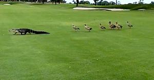 Un cârd de gâşte îi arată unui aligator că nu este binevenit pe terenul de golf în cel mai amuzant mod