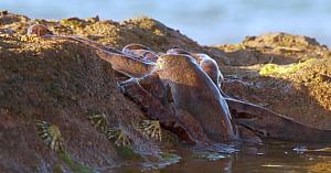 Această caracatiţă este cu totul aparte. Priviţi modul extraordinar în care iese pe uscat pentru a-şi procura hrana