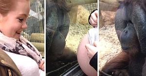 Viitoarea mamă îi arată unui urangutan burtica de gravidă. Nu se aştepta la reacţia emoţionantă ce a urmat