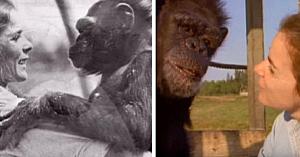 Separată de cimpanzeii pe care i-a crescut, priviţi momentul emoţionant când îi revede 18 ani mai târziu