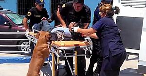 Câinii îşi însoţesc stăpânul rănit în ambulanţă şi la spital pentru a se asigura că este bine