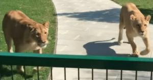 Femeia adoptă doi pui de leu, dar este nevoită să renunţe la ei - 7 ani mai târziu, o reuniune incredibilă este surprinsă pe cameră