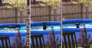 Câinele credea că s-a strecurat cu succes în piscină, până când îşi dă seama că a fost prins şi are o reacţie de tot hazul