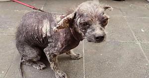 Veterinarul i-a spus că trebuie eutanasiat. Salvatoarea a refuzat şi acum câinele arată ca un ursuleţ adorabil de pluş