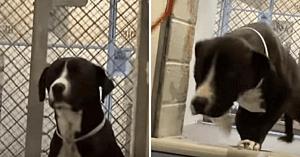 Un PitBull programat să fie eutanasiat are cea mai frumoasă reacţie când îşi dă seama că merge acasă