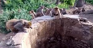 Imagini incredibile surprinse pe cameră arată cum maimuţele ajută la salvarea unui leopard căzut într-un puţ