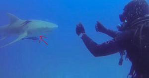 Scafandrul nu înţelegea mesajul urgent transmis de rechin, până când se apropie şi vede pe burta acestuia un detaliu înspăimântător
