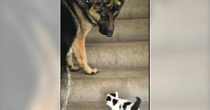 Câinele vede că un pisoi are probleme cu treptele. El se oferă să îl ajute într-un mod adorabil