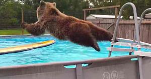 Un urs grizzly face un salt pe burtă în piscină - Acum urmăriţi-l când se întoarce şi zâmbeşte spre cameră