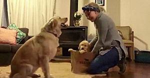 Stăpâna aduce acasă un nou căţeluş - Reacţia câinelui bătrân topeşte inimile tuturor