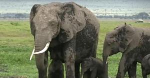 Femela elefant intră în travaliu, apoi aduce pe lume un miracol rar care nu s-a mai întâmplat de 38 de ani