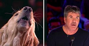 """Un câine cântăreţ uimeşte publicul şi pe Simon Cowell în cadrul concursului """"America's Got Talent"""""""