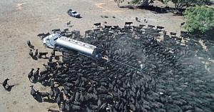 Sute de bovine însetate înconjoară o cisternă cu apă într-o regiune din Australia lovită de o secetă teribilă