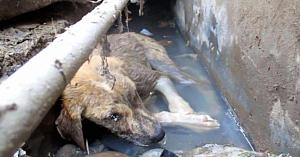 Un căţel ce îşi dădea ultima suflare într-un şanţ insalubru este salvat exact la timp