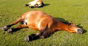 Bărbatul observă caii întinşi pe iarbă, dar pe măsură ce se apropie, situaţia devine din ce în ce mai amuzantă