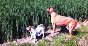 Câinii aud fluieratul fermierului dinspre câmp, apoi au o reacţie cara a făcut o lume întreagă să se amuze