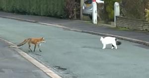 Vulpea se pregăteşte să atace - dar priviţi cum lucrurile iau rapid o turnură neaşteptată