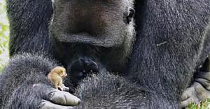 O gorilă-mascul de 200 kg întâlneşte un mic animăluţ şi între ei se stabileşte cea mai frumoasă prietenie