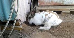 Acest iepure sapă frenetic în pământ, iar motivul său este înduioşător