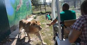 Vizitatorii înmărmuresc când văd leul apropiindu-se de vehicul. Câteva clipe mai târziu descoperă adevăratele sale intenţii