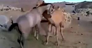 Calul are o reacţie incredibilă atunci când se revede cu prietena lui cea mai bună, cămila