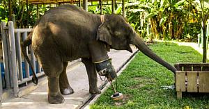 Acest elefant şi-a pierdut piciorul din cauza unei mine de teren. Acum priviţi momentul emoţionant când primeşte o proteză