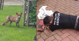 Oamenii observă o vulpe agitată lângă o scurgere: Imediat îşi dau seama că are nevoie disperată de ajutor