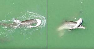Mama delfin cu inima sfâşiată nu vrea sub nicio formă să-şi lase puiul şi să plece